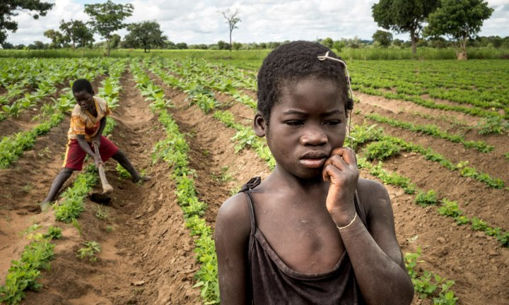 Crianças nas plantações de tobaco